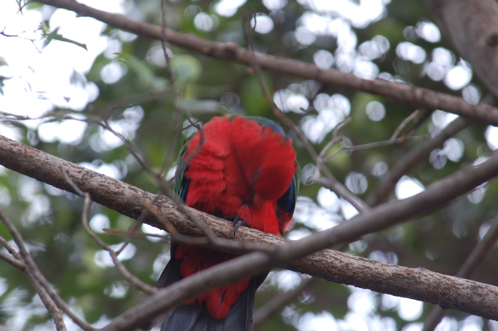 The king parrots examined